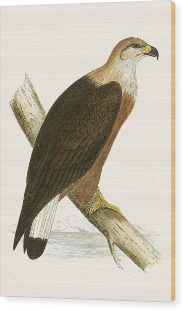 Pallas's Sea Eagle Wood Print