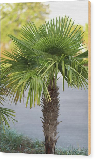 Wood Print featuring the photograph Palm Tree Just There by Raphael Lopez