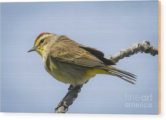Palm Warbler  Wood Print by Ricky L Jones