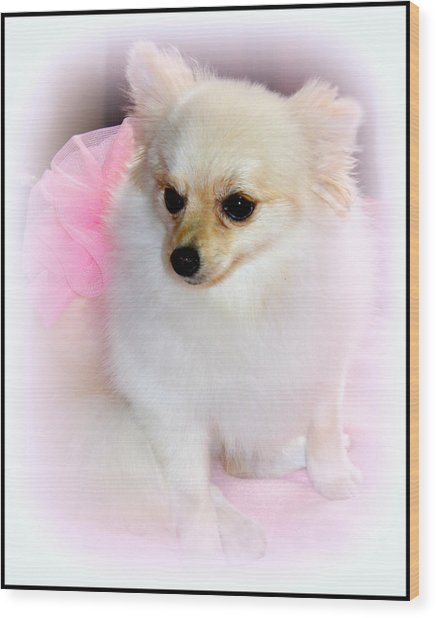 Pampered Pomeranian  Wood Print