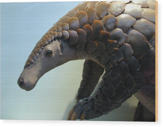 Pangolin Wood Print by Jez C Self