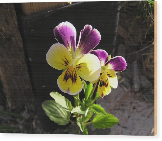 Pansy Out Of Cement Wood Print by Richard Mitchell