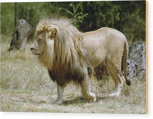 Papa Lion On The Prowl Wood Print by Charles  Ridgway