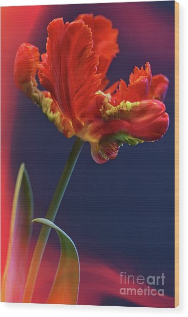 Parrot Tulip - Feathered Petals Wood Print