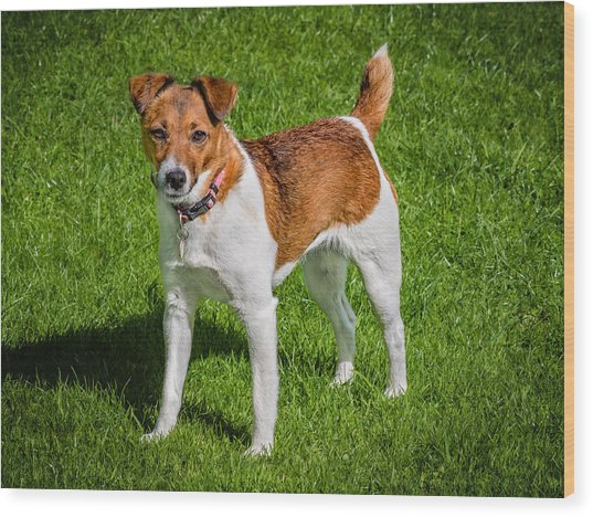 Parson Jack Russell Wood Print