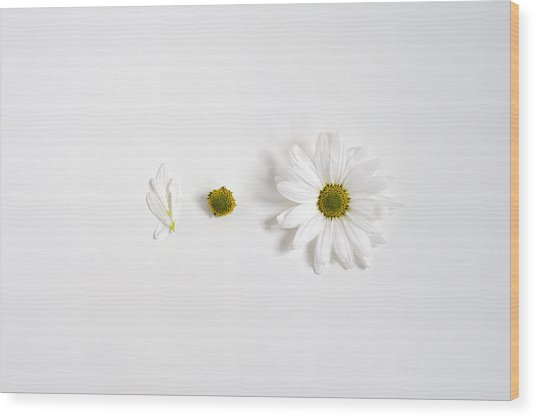 Parts Of A Shasta Daisy Wood Print
