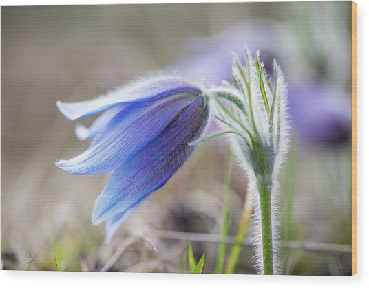 Pasque Flower's Silver Grey Hair Wood Print