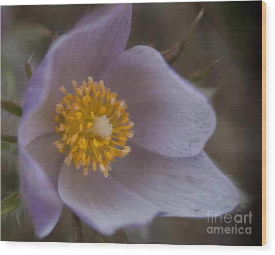 Pasqueflower Blossom Wood Print