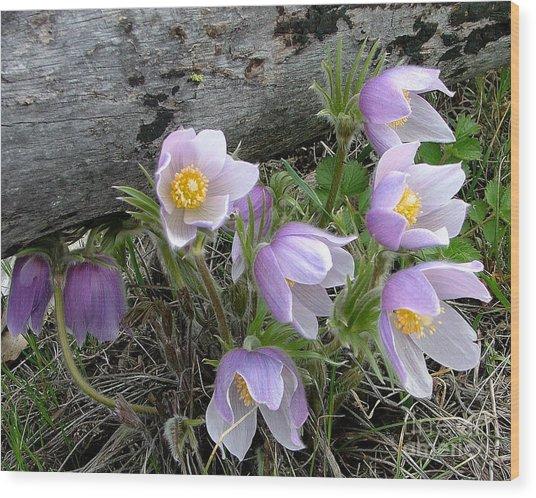 Pasqueflower Bouquet Wood Print