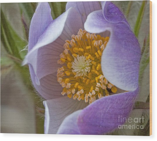 Pasqueflower Promise Wood Print