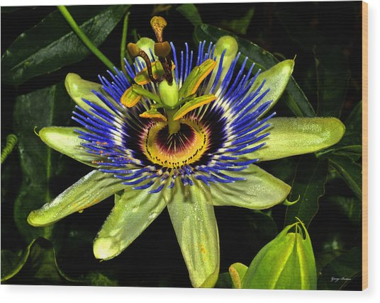 Passion Flower 003 Wood Print