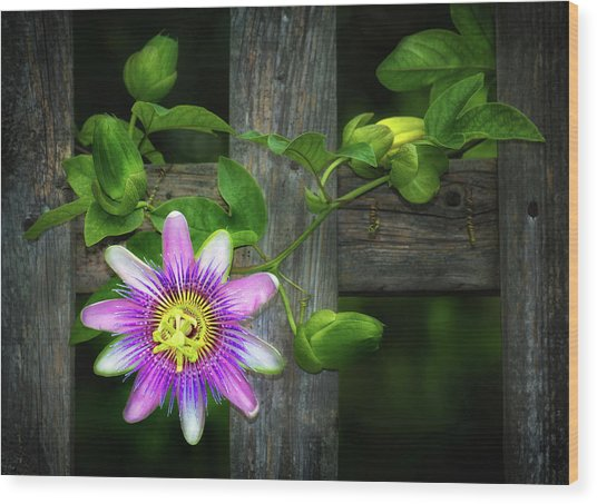 Passion Flower On The Fence Wood Print