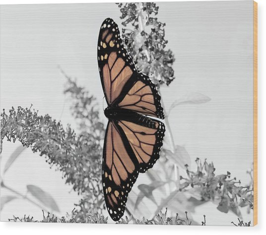 Pastel Monarch On Black And White Wood Print