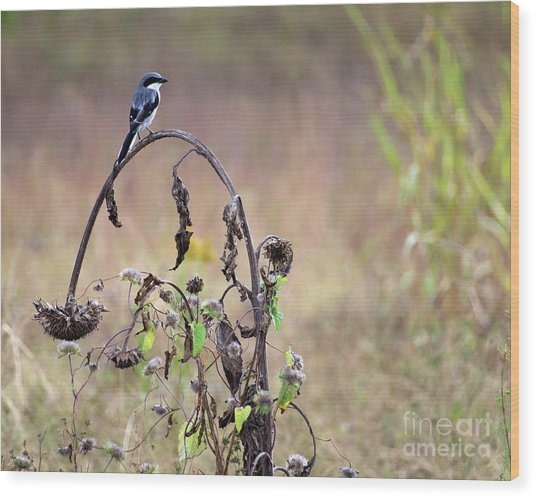 Pastoral Scene Bird On Sunflower Wood Print