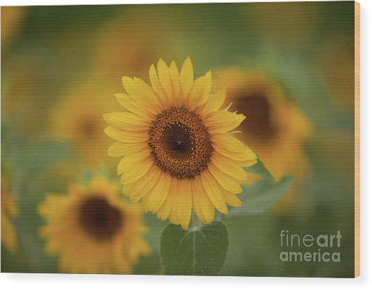 Patch Of Sunflowers Wood Print