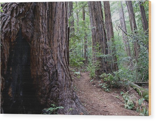 Pathway Through A Redwood Forest On Mt Tamalpais Wood Print