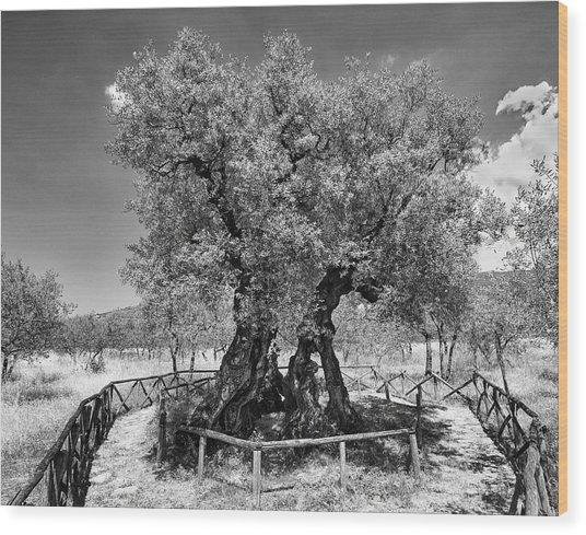 Patriarch Olive Tree Wood Print