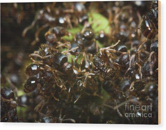 Pavement Ant Hill Wood Print