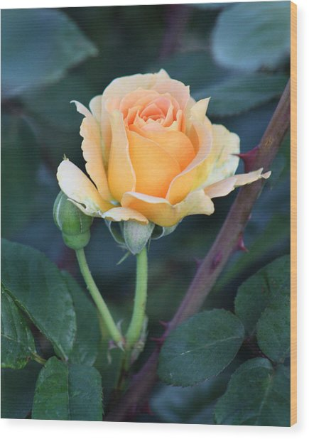 Peach Rose 3 Wood Print