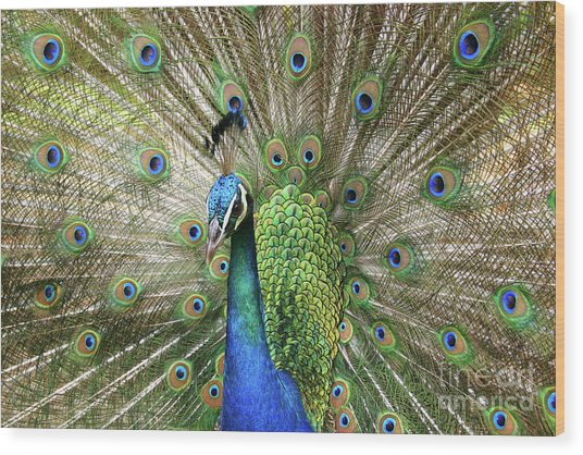 Wood Print featuring the photograph Peacock Indian Blue by Sharon Mau