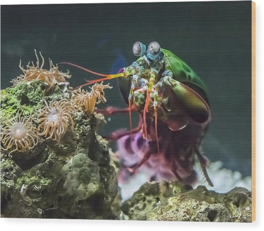 Peacock Mantis Shrimp Profile Wood Print