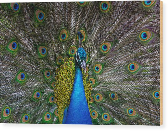 Peacock On Display Wood Print