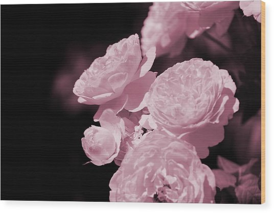 Peacock Pink Cabbage Roses On Black Wood Print