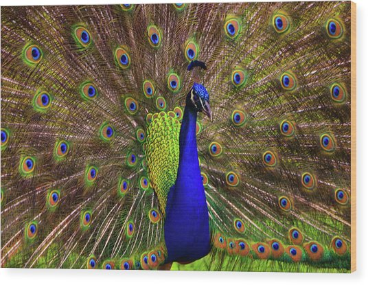 Peacock Showing Breeding Plumage In Jupiter, Florida Wood Print