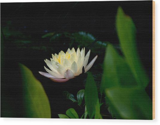 Peekaboo Lemon Water Lily Wood Print