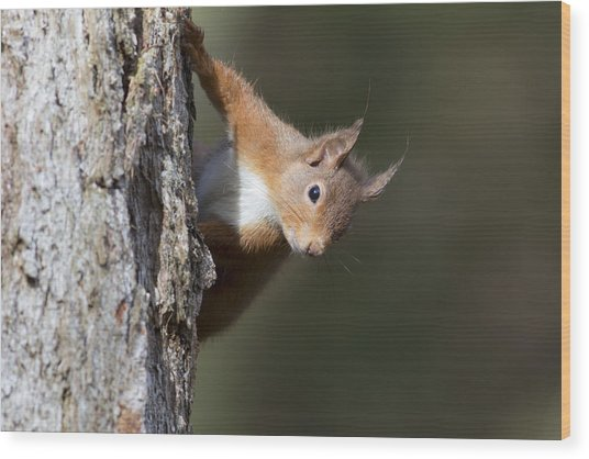 Wood Print featuring the photograph Peekaboo - Red Squirrel #29 by Karen Van Der Zijden