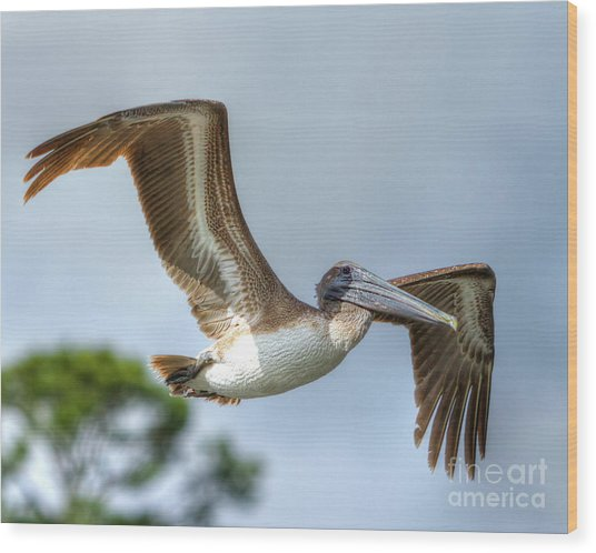 Pelican-4443 Wood Print