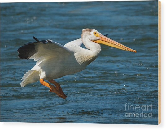 Pelican Glide Wood Print
