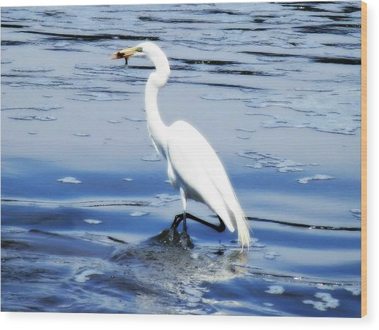 Pelican In It's Glory Wood Print