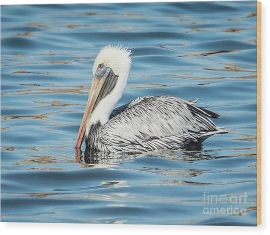 Pelican Relaxing Wood Print