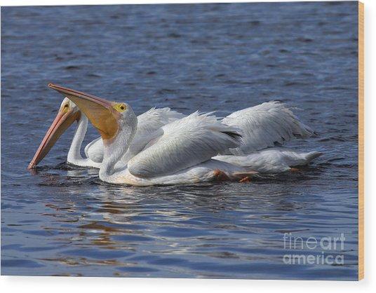 Pelicans Feeding Wood Print by Rick Mann