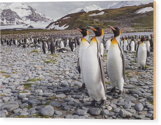 Penguins Of Salisbury Plain Wood Print
