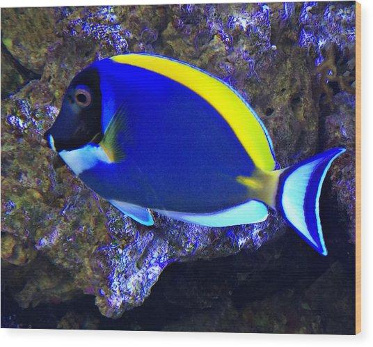 Blue Tang Fish  Wood Print