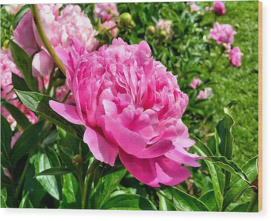 Peonies In Spring Wood Print