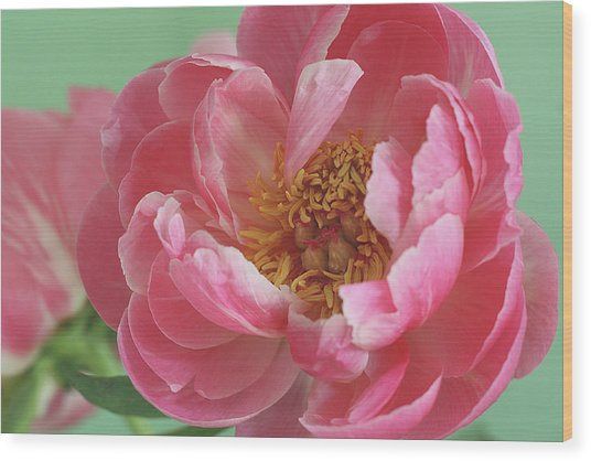 Peony Wood Print by © 2011 Staci Kennelly