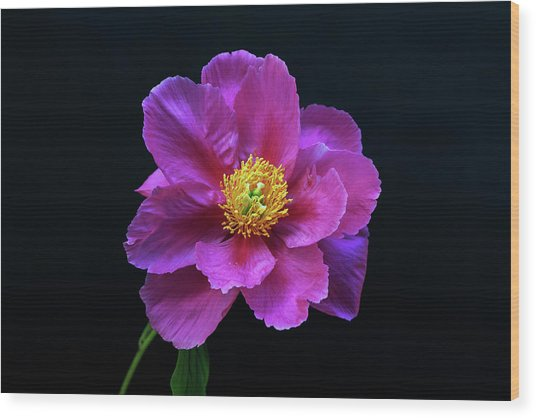 Peony - Beautiful Flowers And Decorative Foliage On The Right Is One Of The First Places Among The G Wood Print
