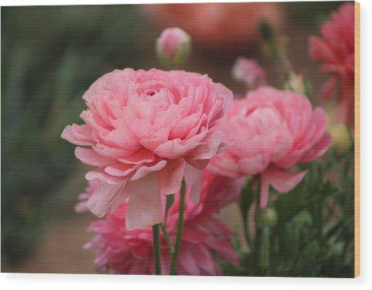 Peony Pink Ranunculus Closeup Wood Print