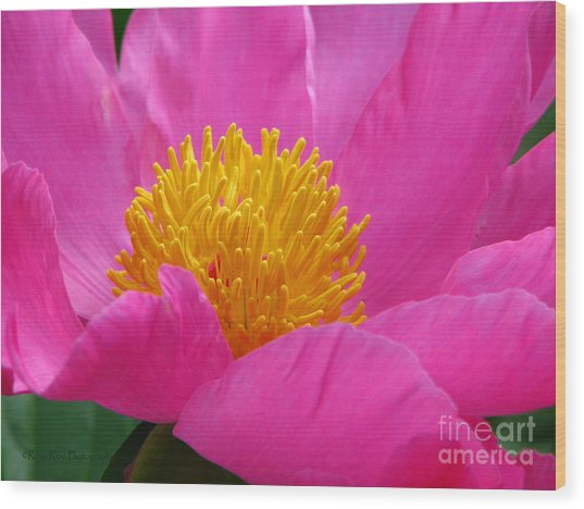Peony Power Wood Print by Roxy Riou