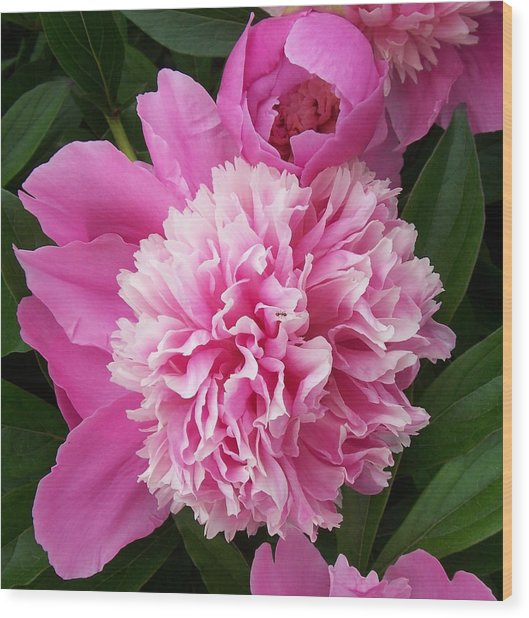 Peony With Ant Wood Print by Ellen B Pate