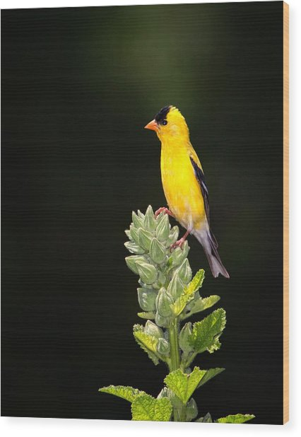 Perched American Goldfinch Wood Print