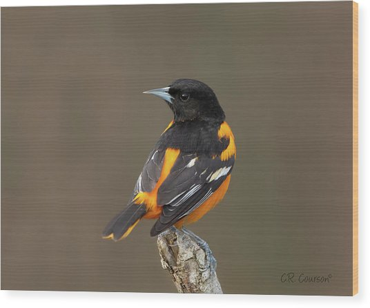 Perched Baltimore Oriole Wood Print