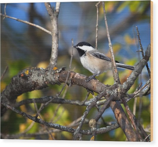 Perched Black-capped Chickadee Wood Print
