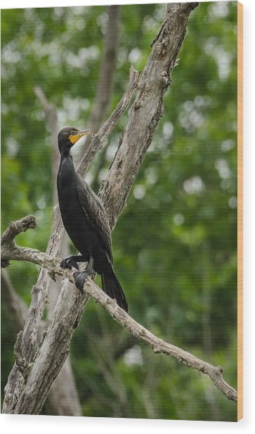 Perched Double-crested Cormorant Wood Print