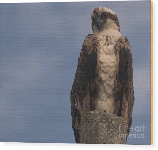 Perched Hawk Wood Print