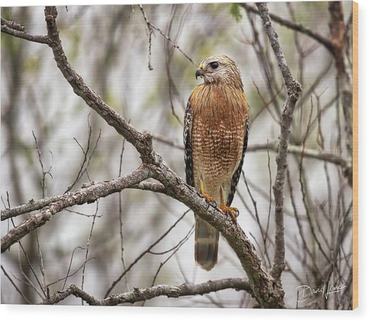 Wood Print featuring the photograph Perched Red Shouldered Hawk by David A Lane