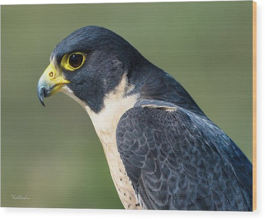 Peregrin Falcon Wood Print